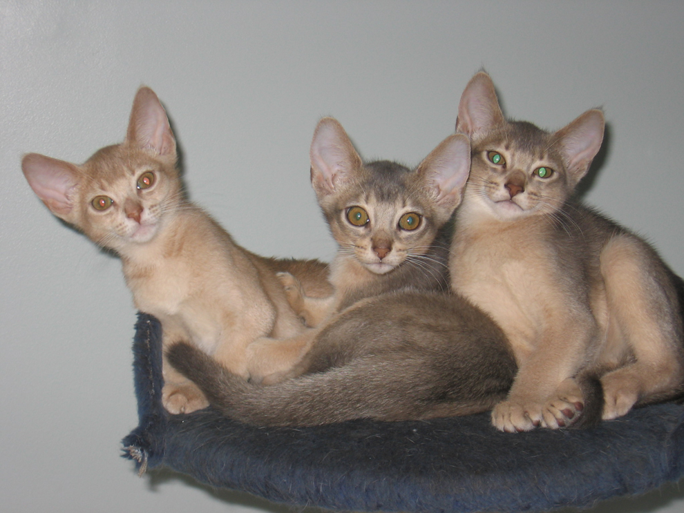 Below are images of the most recent litter from Highlight Habeba and ... Usual Abyssinian Kittens
