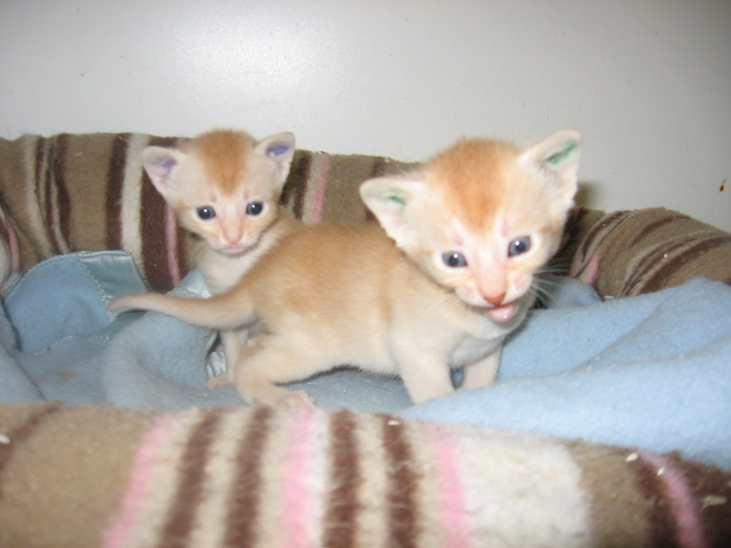 2 red silver boys - 3 weeks (1 reserved, 1 available) - see colours in ears!