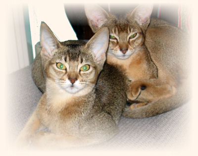 Abyssinians  website  Usual Abyssinian Kittens
